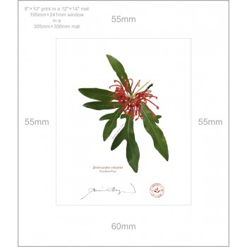 155 Firewheel Tree (Stenocarpus sinuatus) - 8″ × 10″ Print Ready to Frame With 12″ × 14″ Mat and Backing