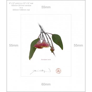 161 Eucalyptus caesia - 8″ × 10″ Print Ready to Frame With 12″ × 14″ Mat and Backing