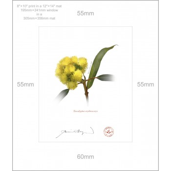 162 Eucalyptus erythrocorys - 8″ × 10″ Print Ready to Frame With 12″ × 14″ Mat and Backing