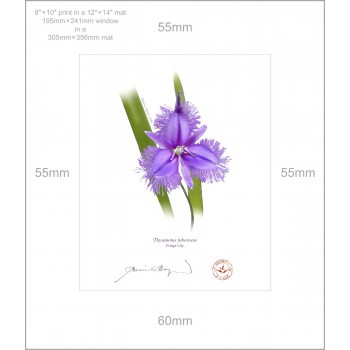 163 Fringe Lily (Thysanotus tuberosus) - 8″×10″ Print Ready to Frame With 12″×14″ Mat and Backing