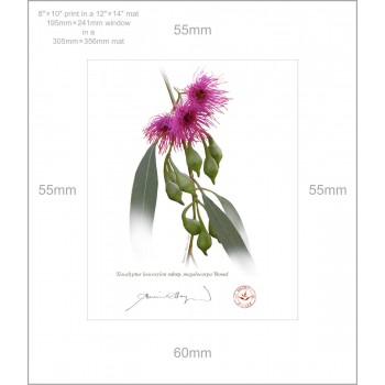 164 Eucalyptus leucoxylon subsp. megalocarpa 'Rosea' - 8″ × 10″ Print Ready to Frame With 12″ × 14″ Mat and Backing
