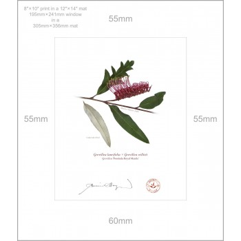 190 Grevillea 'Poorinda Royal Mantle' - 8″×10″ Print Ready to Frame With 12″×14″ Mat and Backing