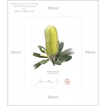 192 Coast Banksia Flower (Banksia integrifolia) - 8″×10″ Print Ready to Frame With 12″×14″ Mat and Backing