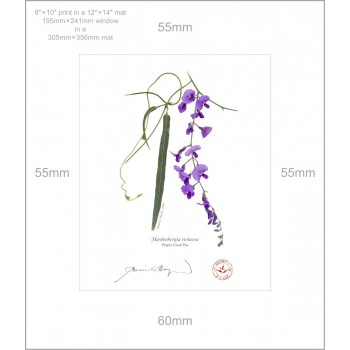 203 Hardenbergia violacea - 8″×10″ Print Ready to Frame With 12″×14″ Mat and Backing