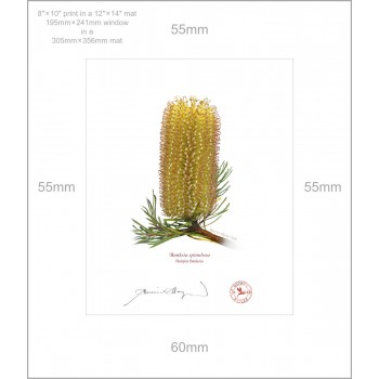 223 Hairpin Banksia (Banksia spinulosa) - 8″ × 10″ Print Ready to Frame With 12″ × 14″ Mat and Backing