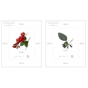 Kennedia species Diptych - 8″ × 10″ Prints Ready to Frame With 12″ × 14″ Mats and Backing