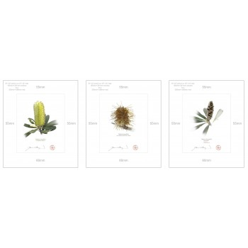 Life of a Banksia Flower Triptych - 8″ × 10″ Prints Ready to Frame With 12″ × 14″ Mats and Backing