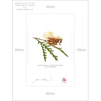 028 Grevillea 'Poorinda Blondie' - A4 Print Ready to Frame With 12″×16″ Mat and Backing