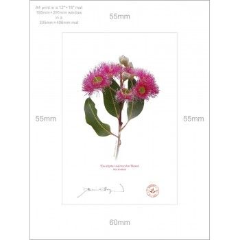 121 Red Ironbark (Eucalyptus sideroxylon 'Rosea') - A4 Print Ready to Frame With 12″ × 16″ Mat and Backing