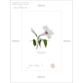 123 Pandorea jasminoides - A4 Print Ready to Frame With 12″ × 16″ Mat and Backing