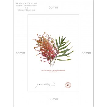 135 Grevillea 'Superb' - A4 Print Ready to Frame With 12″ × 16″ Mat and Backing