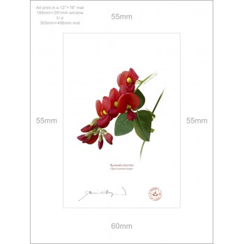 137 Cape Leeuwin Creeper (Kennedia lateritia) - A4 Print Ready to Frame With 12″ × 16″ Mat and Backing
