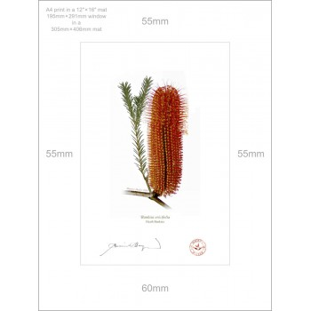 148 Heath Banksia (Banksia ericifolia) - A4 Print Ready to Frame With 12″ × 16″ Mat and Backing