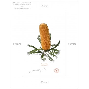 154 Ashby's Banksia (Banksia ashbyi) - A4 Print Ready to Frame With 12″ × 16″ Mat and Backing