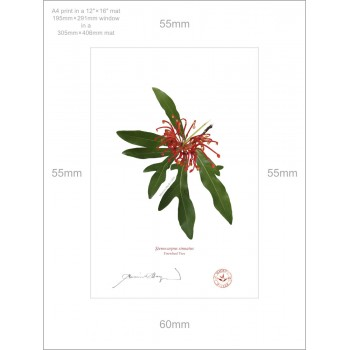 155 Firewheel Tree (Stenocarpus sinuatus) - A4 Print Ready to Frame With 12″ × 16″ Mat and Backing