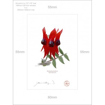 160 Sturt's Desert Pea (Swainsona formosa) - A4 Print Ready to Frame With 12″×16″ Mat and Backing