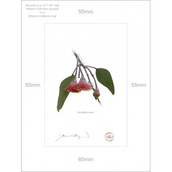 161 Eucalyptus caesia - A4 Print Ready to Frame With 12″ × 16″ Mat and Backing