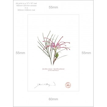 188 Grevillea 'Bulli Princess' - A4 Print Ready to Frame With 12″×16″ Mat and Backing