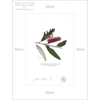 190 Grevillea 'Poorinda Royal Mantle' - A4 Print Ready to Frame With 12″×16″ Mat and Backing