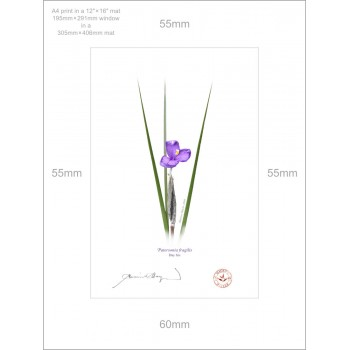 204 Day Iris (Patersonia fragilis) - A4 Print Ready to Frame With 12″×16″ Mat and Backing
