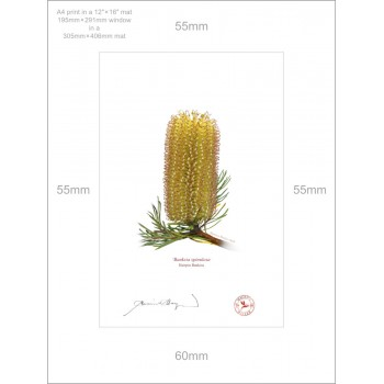 223 Hairpin Banksia (Banksia spinulosa) - A4 Print Ready to Frame With 12″ × 16″ Mat and Backing