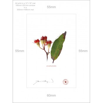 224 Corymbia ficifolia - A4 Print Ready to Frame With 12″ × 16″ Mat and Backing