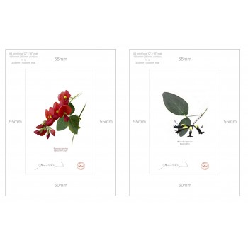 Kennedia species Diptych - A4 Prints Ready to Frame With 12″ × 16″ Mats and Backing