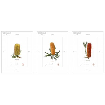 Banksia Flower Collection 1 Triptych - A4 Prints Ready to Frame With 12″ × 16″ Mats and Backing