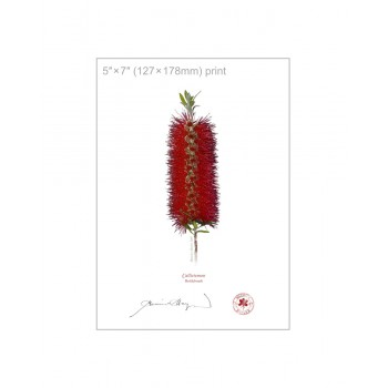 010 Bottlebrush (Callistemon) - 5″ × 7″ Flat Print, No Mat