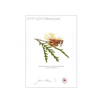 028 Grevillea 'Poorinda Blondie' - 5″×7″ Flat Print, No Mat