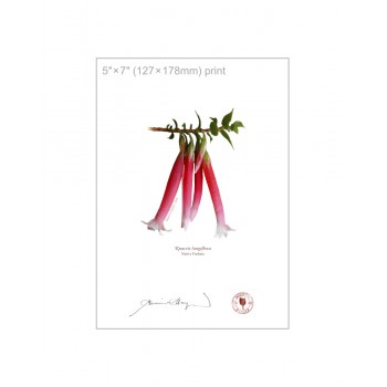 060 Native Fuchsia (Epacris longiflora) - 5″×7″ Flat Print, No Mat
