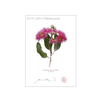 121 Red Ironbark (Eucalyptus sideroxylon 'Rosea') - 5″×7″ Flat Print, No Mat