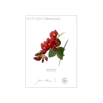 137 Cape Leeuwin Creeper (Kennedia lateritia) - 5″×7″ Flat Print, No Mat