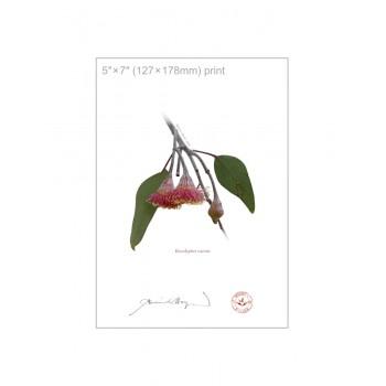161 Eucalyptus caesia - 5″×7″ Flat Print, No Mat