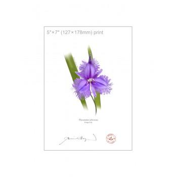163 Fringe Lily (Thysanotus tuberosus) - 5″×7″ Flat Print, No Mat