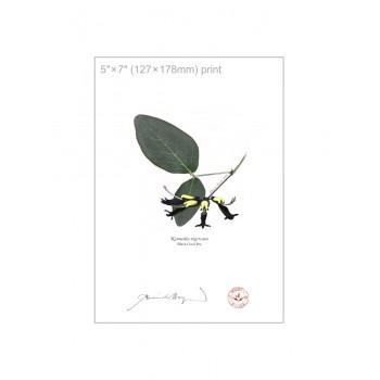 181 Black Coral Pea (Kennedia nigricans) - 5″×7″ Flat Print, No Mat