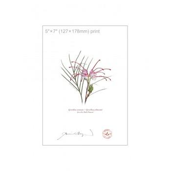 188 Grevillea 'Bulli Princess' - 5″×7″ Flat Print, No Mat