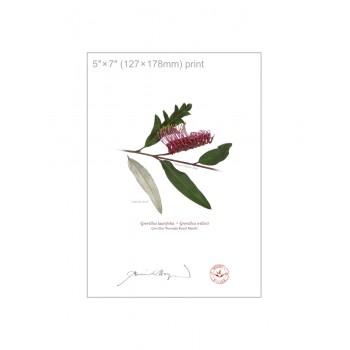 190 Grevillea 'Poorinda Royal Mantle' - 5″×7″ Flat Print, No Mat