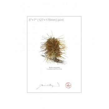 193 Spent Coast Banksia Flower (Banksia integrifolia) - 5″×7″ Flat Print, No Mat