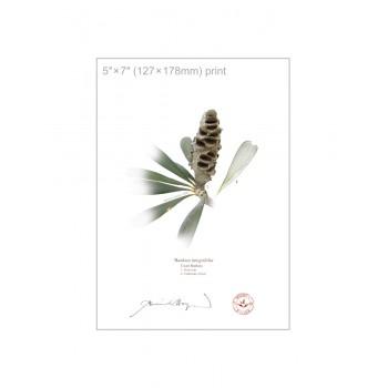 194 Coast Banksia Seed Cone and Leaf (Banksia integrifolia) - 5″×7″ Flat Print, No Mat