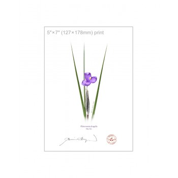 204 Day Iris (Patersonia fragilis) - 5″ × 7″ Flat Print, No Mat
