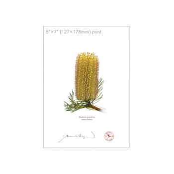 223 Hairpin Banksia (Banksia spinulosa) - 5″×7″ Flat Print, No Mat