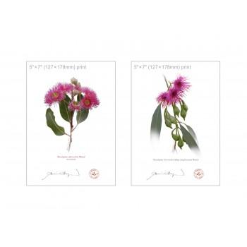 Eucalyptus 'Rosea' Cultivars Diptych - 5″×7″ Flat Prints, No Mats