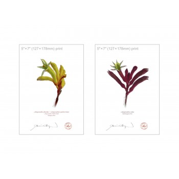 Kangaroo Paw (Anigozanthos) Diptych - 5″×7″ Flat Prints, No Mats