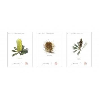 Life of a Banksia Flower Triptych - 5″×7″ Flat Prints, No Mats
