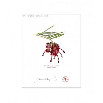 041 Rosemary Grevillea (Grevillea rosmarinifolia) - 8″×10″ Flat Print, No Mat