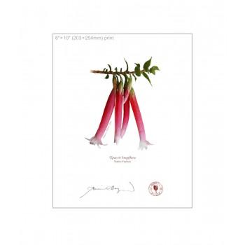060 Native Fuchsia (Epacris longiflora) - 8″×10″ Flat Print, No Mat
