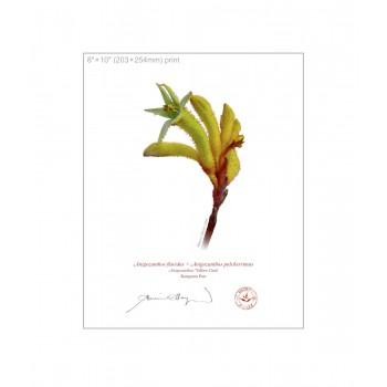 133 Kangaroo Paw (Anigozanthos 'Yellow Gem') - 8″×10″ Flat Print, No Mat