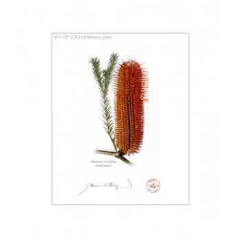 148 Heath Banksia (Banksia ericifolia) - 8″×10″ Flat Print, No Mat