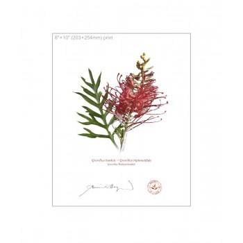 149 Grevillea 'Robyn Gordon' - 8″×10″ Flat Print, No Mat